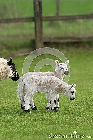 Twin Lambs in Spring