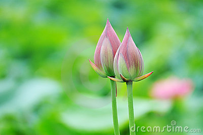Twin lotus buds