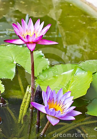 twin lotus in the pond