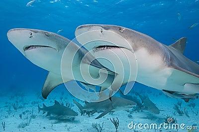Twin sharks