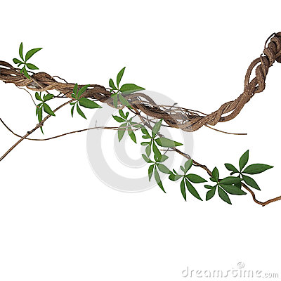 Free Twisted Big Jungle Vines With Leaves Of Wild Morning Glory Liana Stock Photography - 88540772