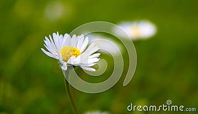 Twisted Daisy