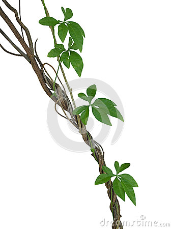 Free Twisted Jungle Vines With Green Leaves Of Wild Morning Glory Lia Stock Photos - 93958213