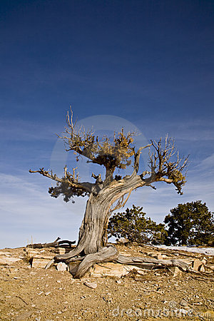 Free Twisted Juniper Tree Royalty Free Stock Photos - 5389438
