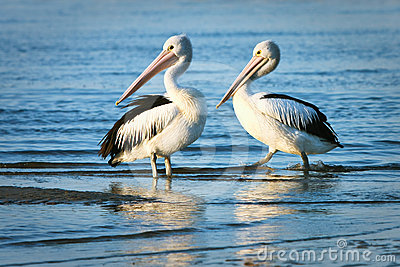 Two adult pelicans standing in water