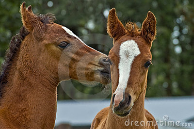 Two affectionate baby horse foals