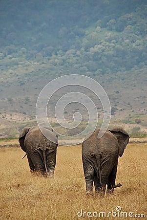 Two African Elephants