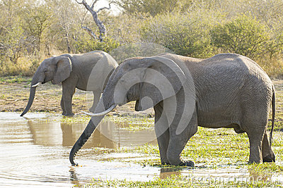 Two African elephants drinking water, South Africa (Loxodonta af