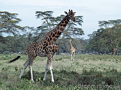 Two african giraffes