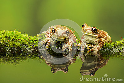 Two little Amazon milk frogs on a mossy log in a reflection pool.