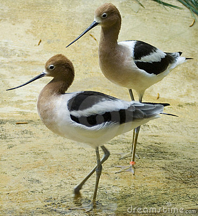Free Two American Avocets Royalty Free Stock Photos - 1982708
