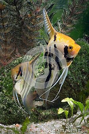 Two Angelfish