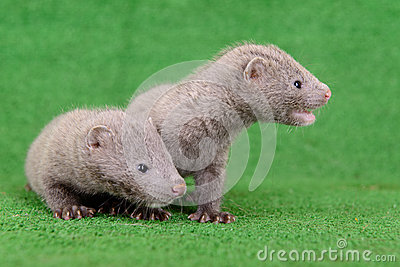 Two animal mink