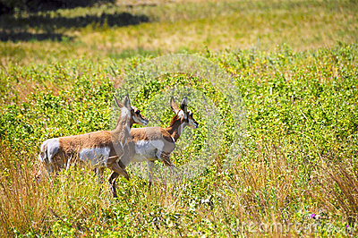 Two Antelope