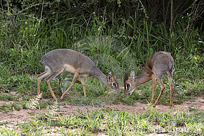 Two antelopes dik-dik