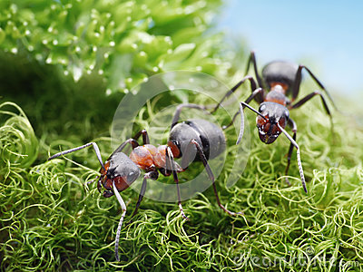 Two ants formica rufa on go