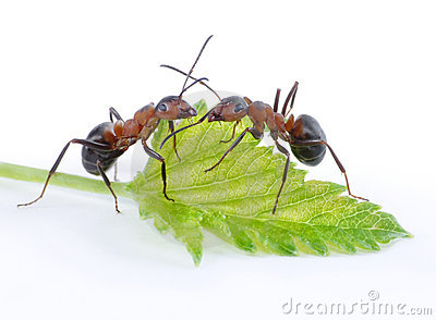 Two ants and green leaf