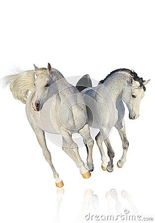 Two arab horses on white