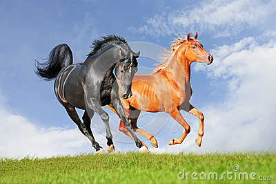Two arabian horses