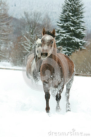 Two arabian horses running together in the snow
