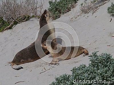 Two Australian sea lions
