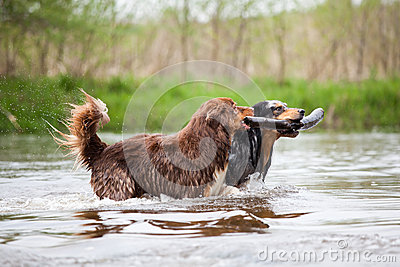 Two Australian Shepherd dogs in the river