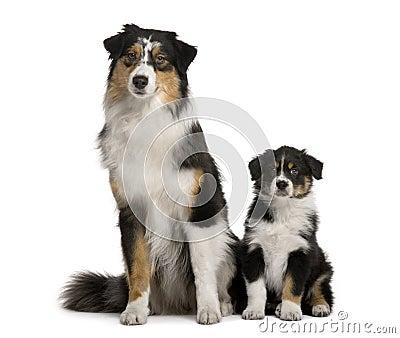 Two Australian Shepherd dogs, sitting