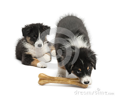 Australian Shepherd puppies, 2 months old Royalty Free Stock Images