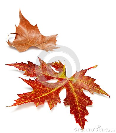 Two autumn leaves on a white background
