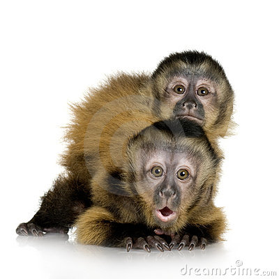 Free Two Baby Capuchins - Sapajou A Royalty Free Stock Images - 3426729