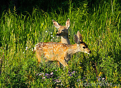 Two baby deer in forest, Yellowstone Wyoming