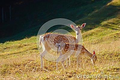 Two Baby Deers