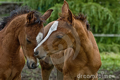 Two baby horses nuzzling each other