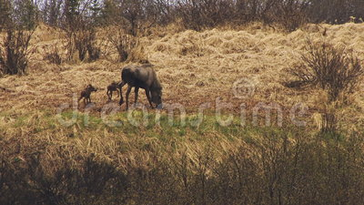 Two baby moose with mother stock video footage