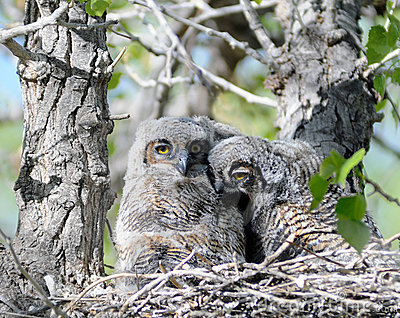 Two baby owls in nest