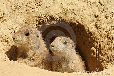 Two Young Prairie Dogs Royalty Free Stock Photos - Image: 15615878