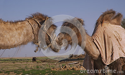 Two bactrian camels kissing