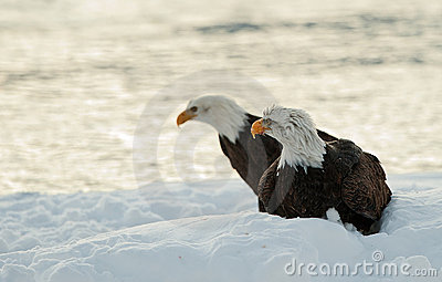 Two Bald Eagles on snow