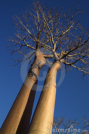 Two baobabs in perspective
