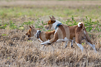 Two Basenjis dogs