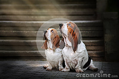 Two Basset hound sitting and looks up at light