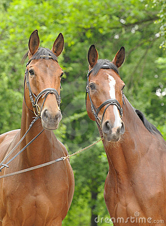 Free Two Bay Horses Stock Photography - 19885512
