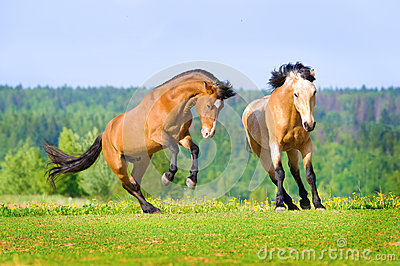 Two bay horses playing on the meadow