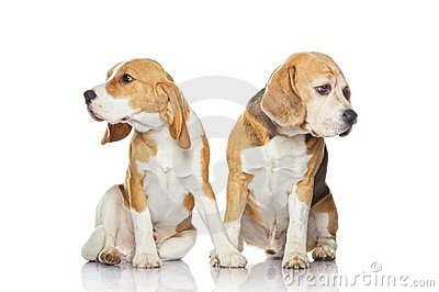Two beagle dogs isolated on white background.