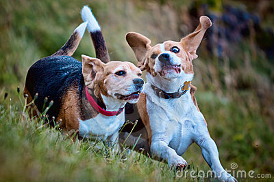 Two Beagle dogs playing