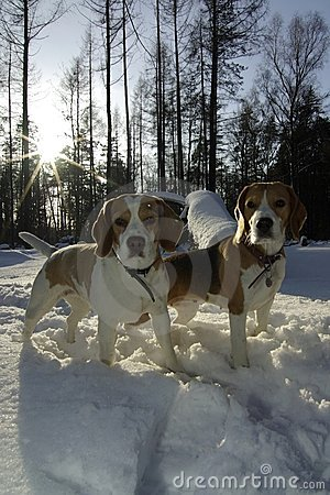 Free Two Beagles In Winter Royalty Free Stock Photos - 22418598