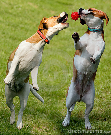 Free Two Beagles With Ball Royalty Free Stock Photo - 9479155