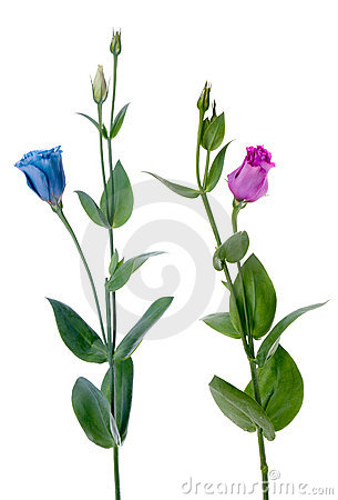 Free Two Beautiful Blue And Violet Flowers Royalty Free Stock Photography - 16489107