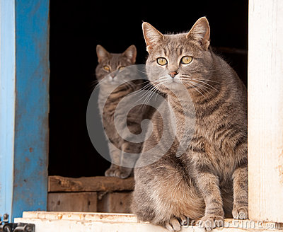 Two beautiful blue tabby cats