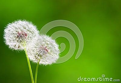 Two beautiful dandelion